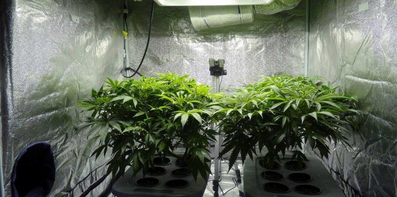 Vegitative growth phase of weed