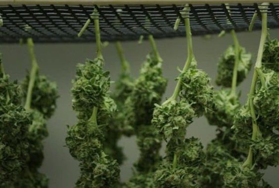 When is it the right time to harvest your weed plants?