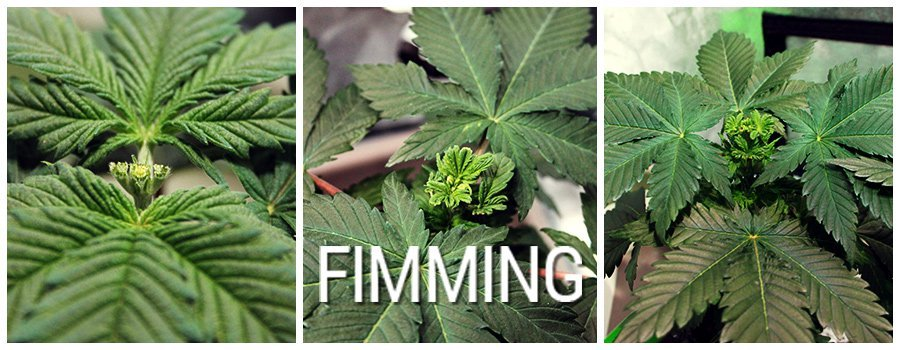 Fimming vs Topping your cannabis to increase yield