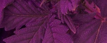 weed-seedling-closeup